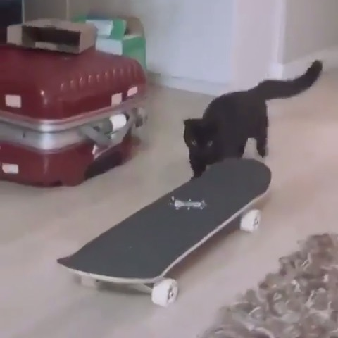 68747266 2349185298470568 5139238406570617180 n - Step up your cat  game  via @skatelifesupply...